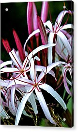 Crinum Asiaticum Spider Lily Hawaii Acrylic Print by Karon Melillo DeVega