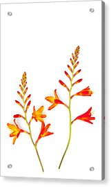 Crocosmia On White Acrylic Print by Carol Leigh