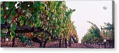 Crops In A Vineyard, Sonoma County Acrylic Print by Panoramic Images