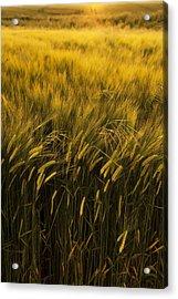 Crops Acrylic Print by Svetlana Sewell