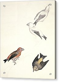 Crossbills, 19th Century Artwork Acrylic Print by Science Photo Library