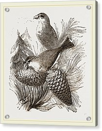Crossbills Acrylic Print by Litz Collection