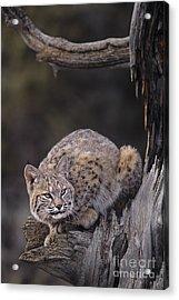 Crouching Bobcat Montana Wildlife Acrylic Print by Dave Welling