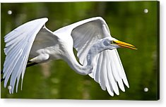 Cruising Egret Acrylic Print by Andres Leon
