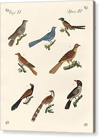 Cuckoos From Various Countries Acrylic Print by Splendid Art Prints
