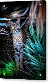 Curious Bobcat Acrylic Print by Mark Andrew Thomas