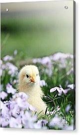 Curious Chick Acrylic Print by Stephanie Frey