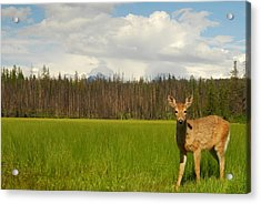 Curious Deer In Glacier National Park Acrylic Print by Larry Moloney