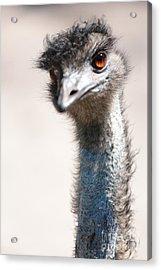 Curious Emu Acrylic Print by Carol Groenen
