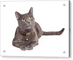 Curious Grey Domestic Shorthair Cat Looking Up Acrylic Print by Susan  Schmitz