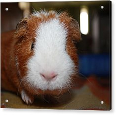 Curly The Guinea Pig Acrylic Print by Victoria Roehrig