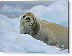 Cute And Cuddly... Acrylic Print by Nina Stavlund