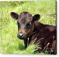 Cute Cow Acrylic Print by Terri Waters