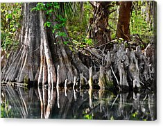 Cypress Trees - Nature's Relics Acrylic Print by Christine Till