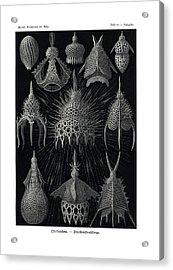 Cyrtoidea Acrylic Print by Ernst Haeckel