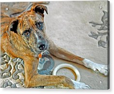 Cyrus Acrylic Print by Lisa Phillips