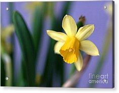Daffodil Acrylic Print by AmaS Art
