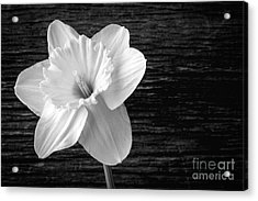 Daffodil Narcissus Flower Black And White Acrylic Print by Edward Fielding