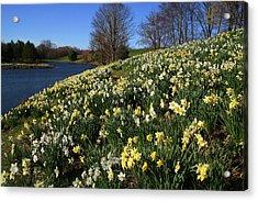 Daffodil Hill Acrylic Print by Karol Livote