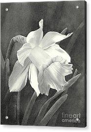 Daffodil Acrylic Print by Nicola Butt