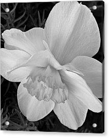 Daffodil Study Acrylic Print by Chris Berry