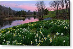 Daffodil Sunset Acrylic Print by Bill Wakeley