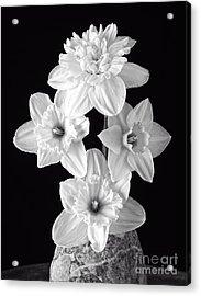 Daffodils Acrylic Print by Edward Fielding