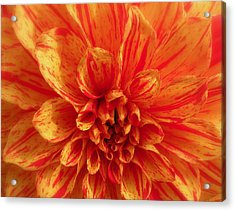 Dahlia  Acrylic Print by Brian Chase