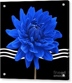 Dahlia Flower And Wavy Lines Triptych Canvas 2 - Blue Acrylic Print by Natalie Kinnear