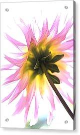 Dahlia Flower Acrylic Print by Joy Watson