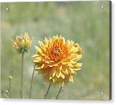 Dahlia Flowers Acrylic Print by Kim Hojnacki