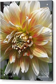 Dahlia Named Peaches-n-cream Acrylic Print by J McCombie