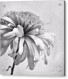 Dainty Daisy Acrylic Print by Priska Wettstein