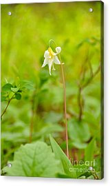 Dainty Lovely Acrylic Print by Birches Photography