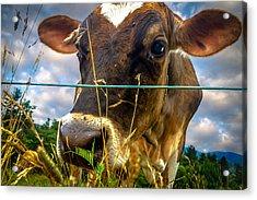 Dairy Cow Acrylic Print by Bob Orsillo