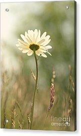 Daisy Dreams Acrylic Print by LHJB Photography