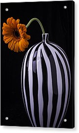 Daisy In Striped Vase Acrylic Print by Garry Gay