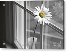 Daisy In The Window Acrylic Print by Diane Diederich