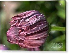 Daisy With Rain Drops Acrylic Print by Joy Watson