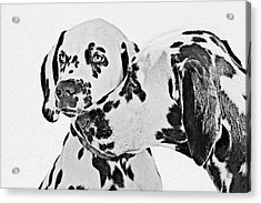 Dalmatians - A Great Breed For The Right Family Acrylic Print by Christine Till