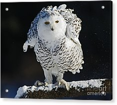 Dance Of Glory - Snowy Owl Acrylic Print by Inspired Nature Photography Fine Art Photography
