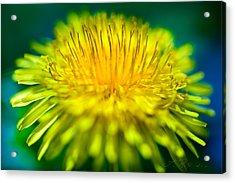 Dandelion Bloom  Acrylic Print by Iris Richardson