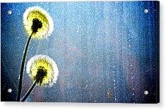 Dandelion Parachute Balls Acrylic Print by Bob Orsillo