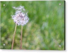 Dandelion Seed Ball Acrylic Print by James Drake
