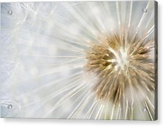 Dandelion Seedhead Noord-holland Acrylic Print by Mart Smit