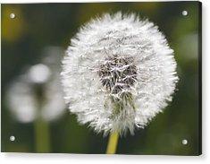 Dandelion _taraxacum Officinale__ Black Acrylic Print by Carl Bruemmer