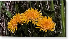 Dandelions In Group  By Leif Sohlman Acrylic Print by Leif Sohlman