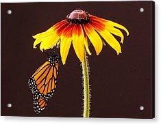 Dangling Monarch Acrylic Print by Jean Noren