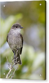 Dark Faced Ground Tyrant On A Perch Acrylic Print by Tim Grams