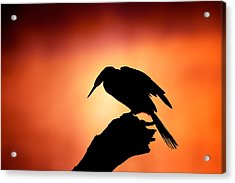 Darter Silhouette With Misty Sunrise Acrylic Print by Johan Swanepoel